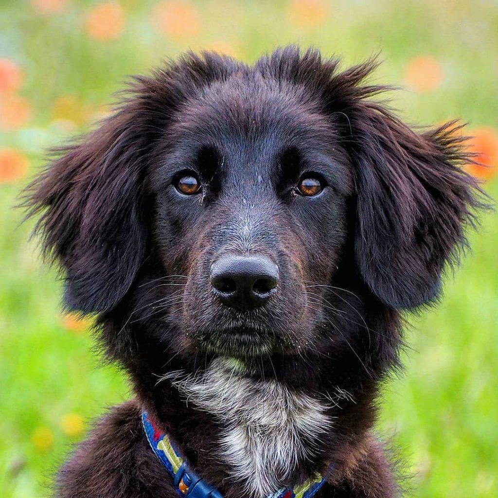 Spanierd Dog