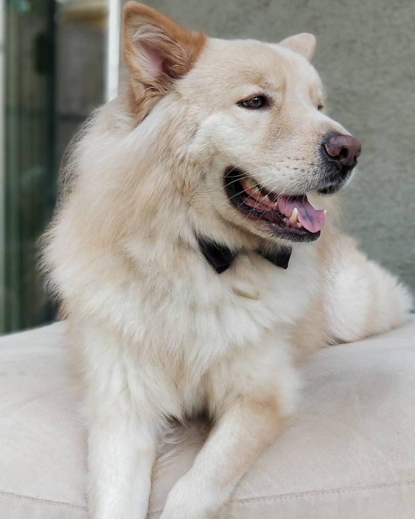 Chow Shepherd Dog