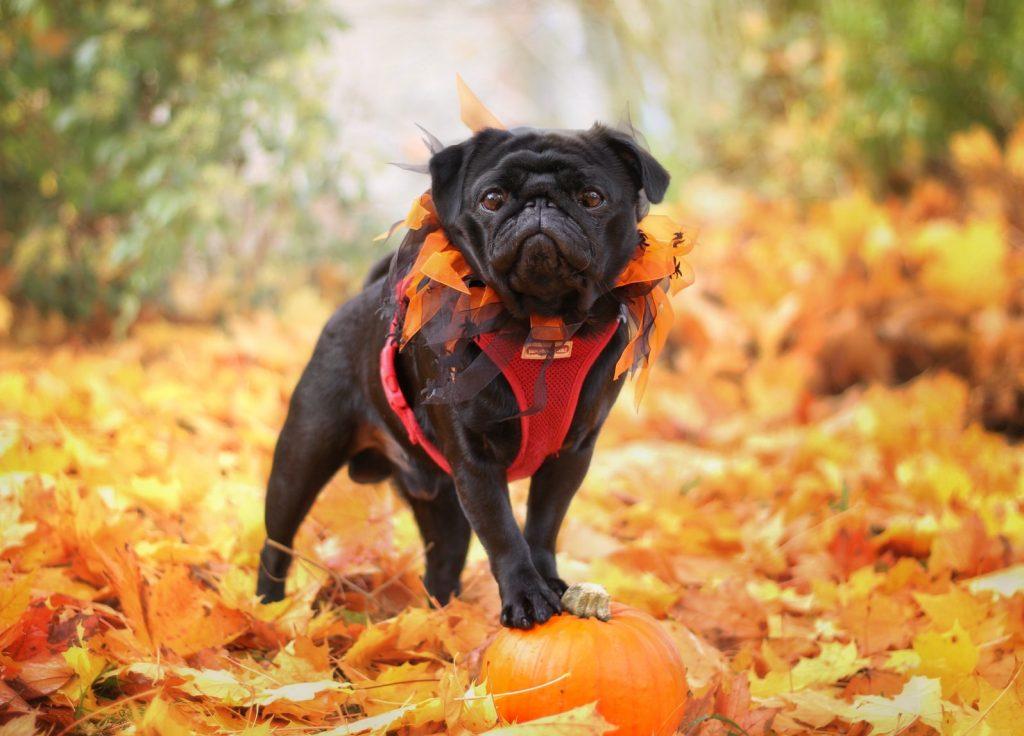 20  Best Homemade Pumpkin Dog Treats