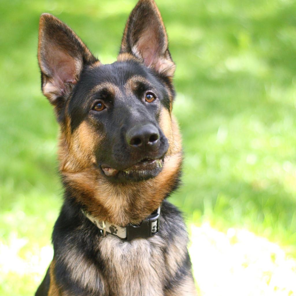Black and Tan German Shepherd Names
