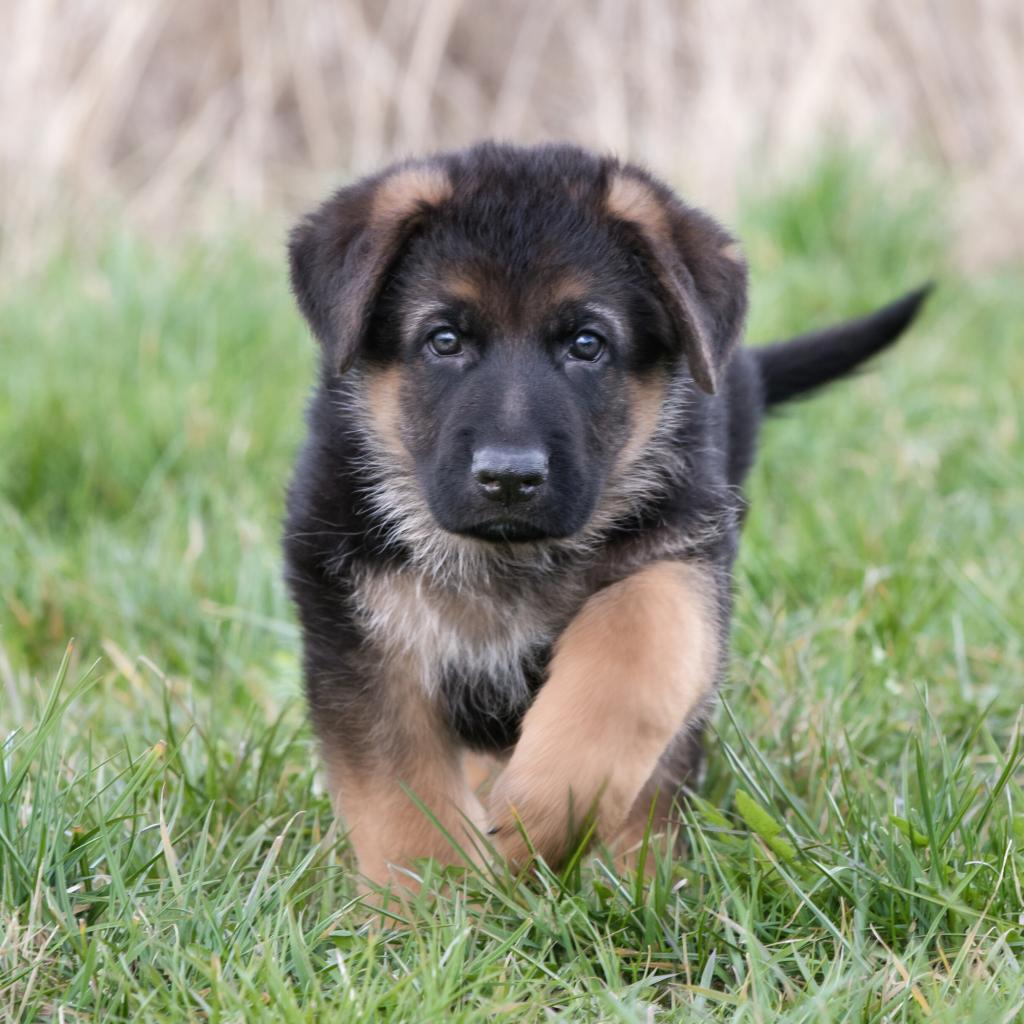 Cute German Shepherd Dog Names