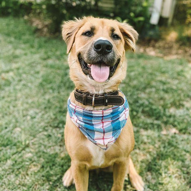 Golden Shepherd Dog