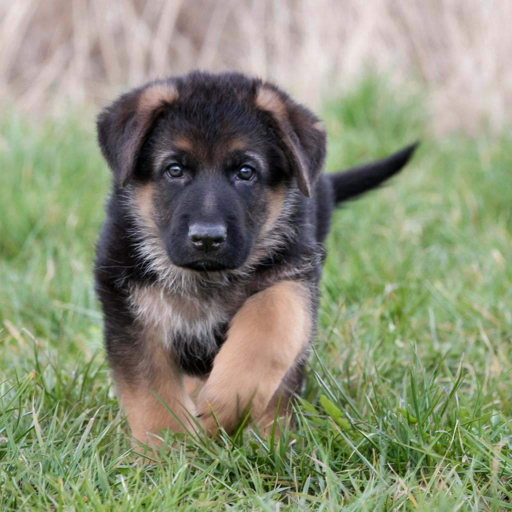 German Shepherd Puppies Price