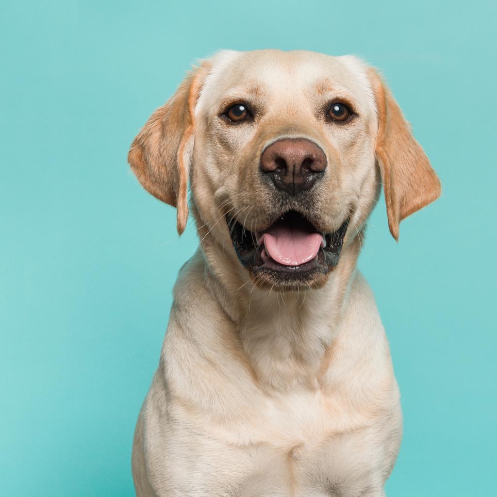 Indian Dog Names for Labrador Retrievers
