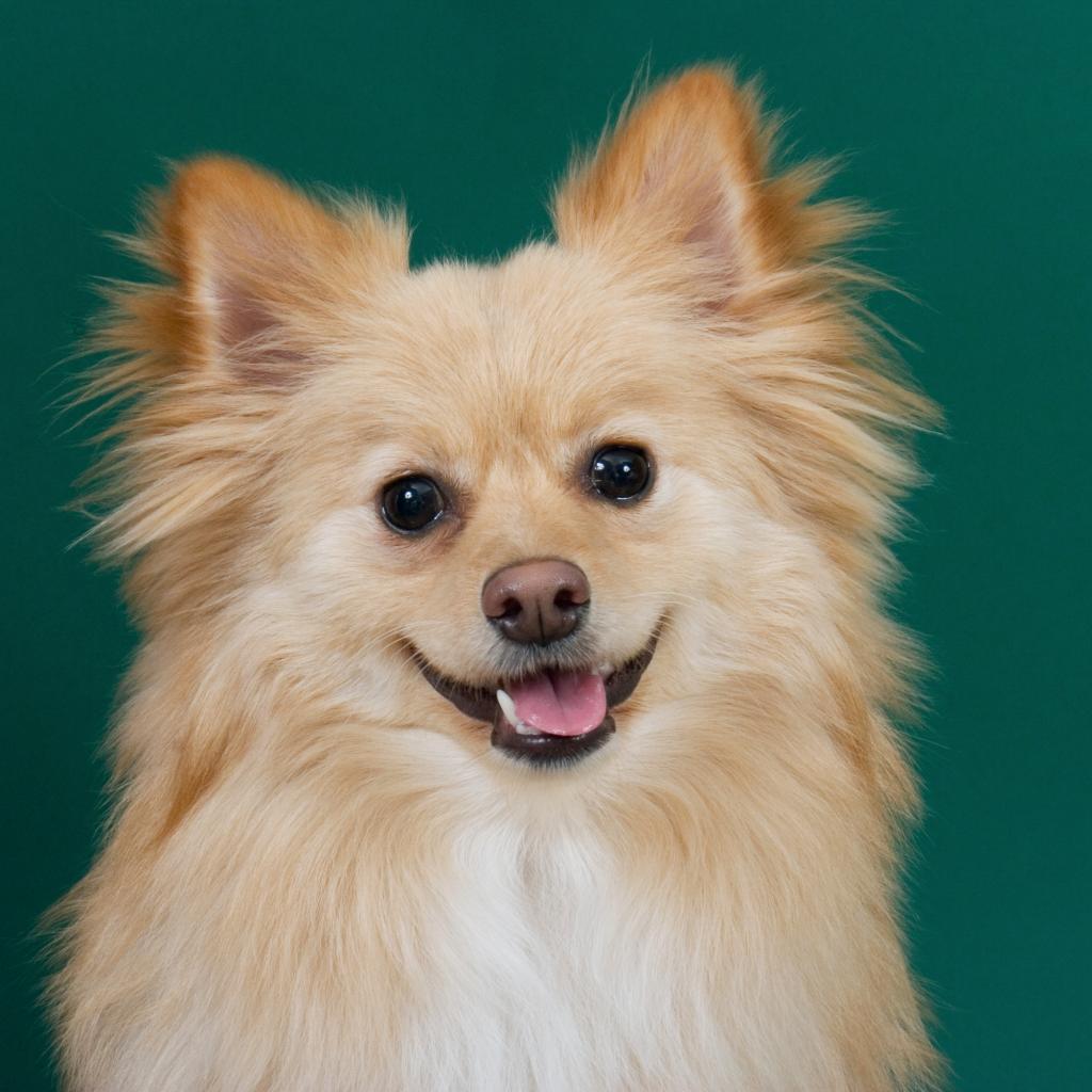 Indian Dog Names for Pomeranians
