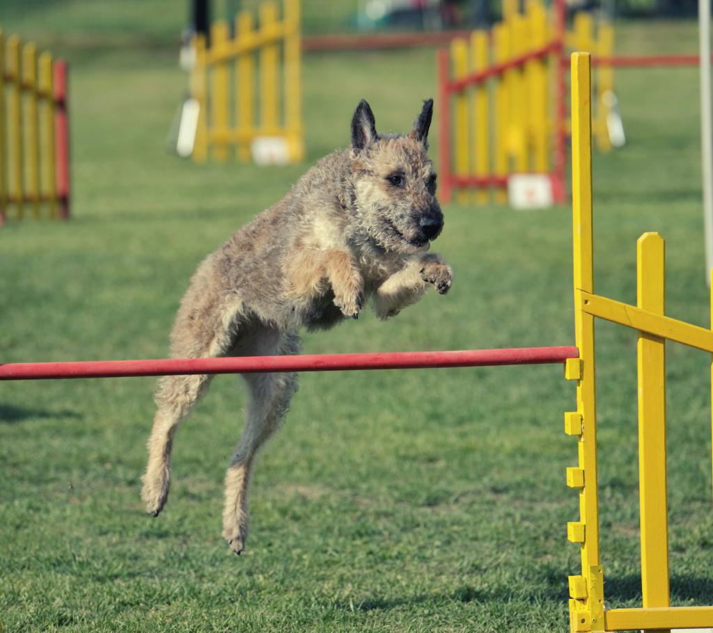 Laekenois Shepherd Dog