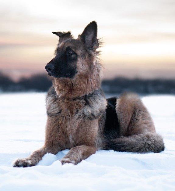 Carpathian Shepherd / Romanian Shepherd