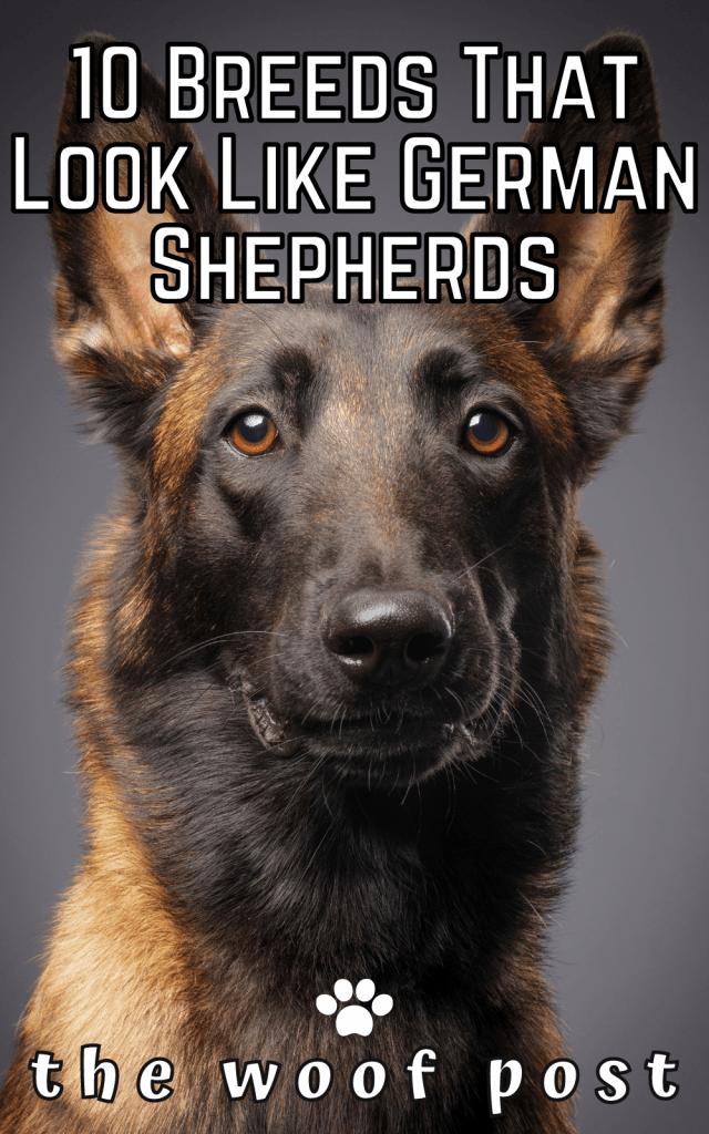 10 Dogs That Look Like German Shepherds