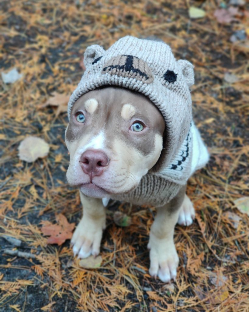 Pit Bull With Blue Eyes