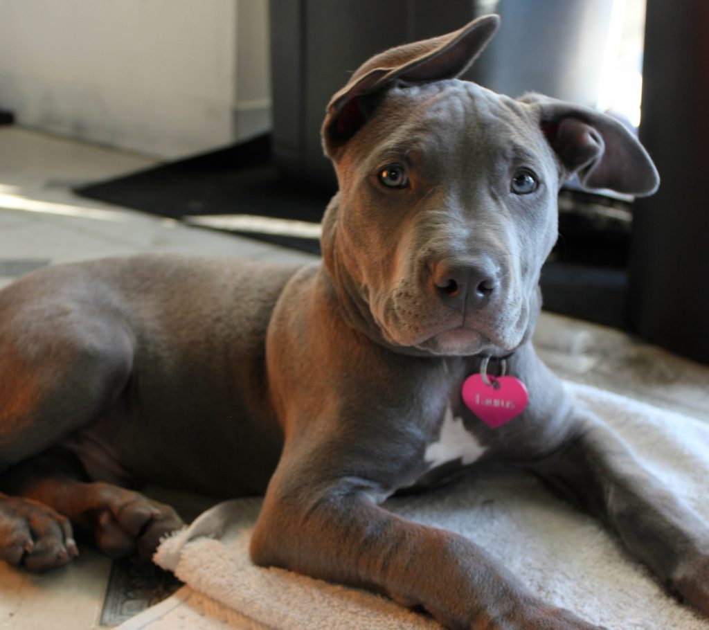 Blue-Eyed Pit Bull: Ethical Concerns You Should Know About