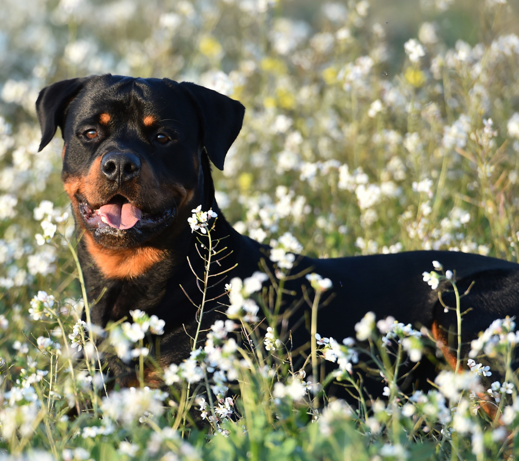 Rottweiler Pure Breed