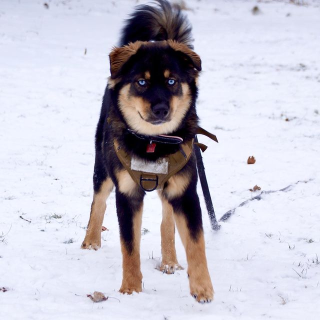 Rottweiler Husky Mix: An Overview of the Rottsky Breed