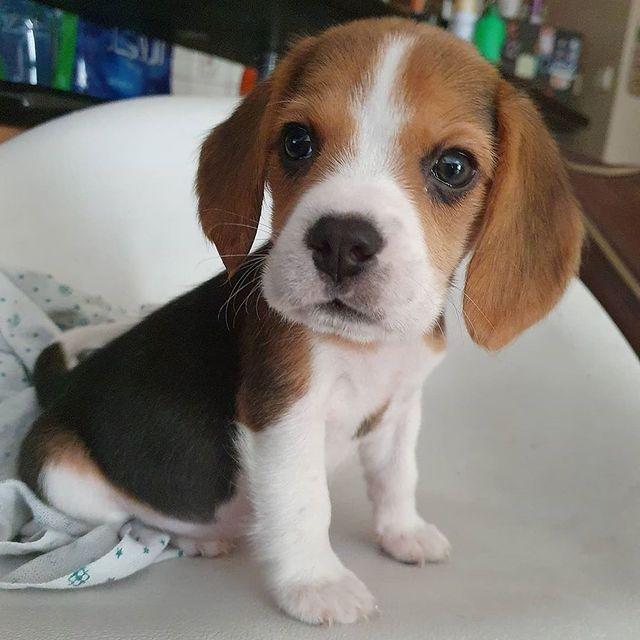20 Adorable Beagle Photos That'll Make Your Heart Sing