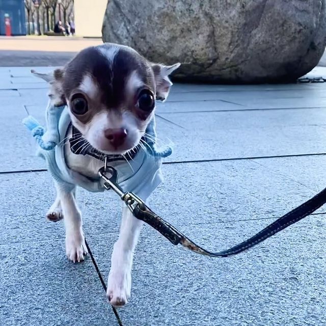 Husky Chihuahua Mix Photos