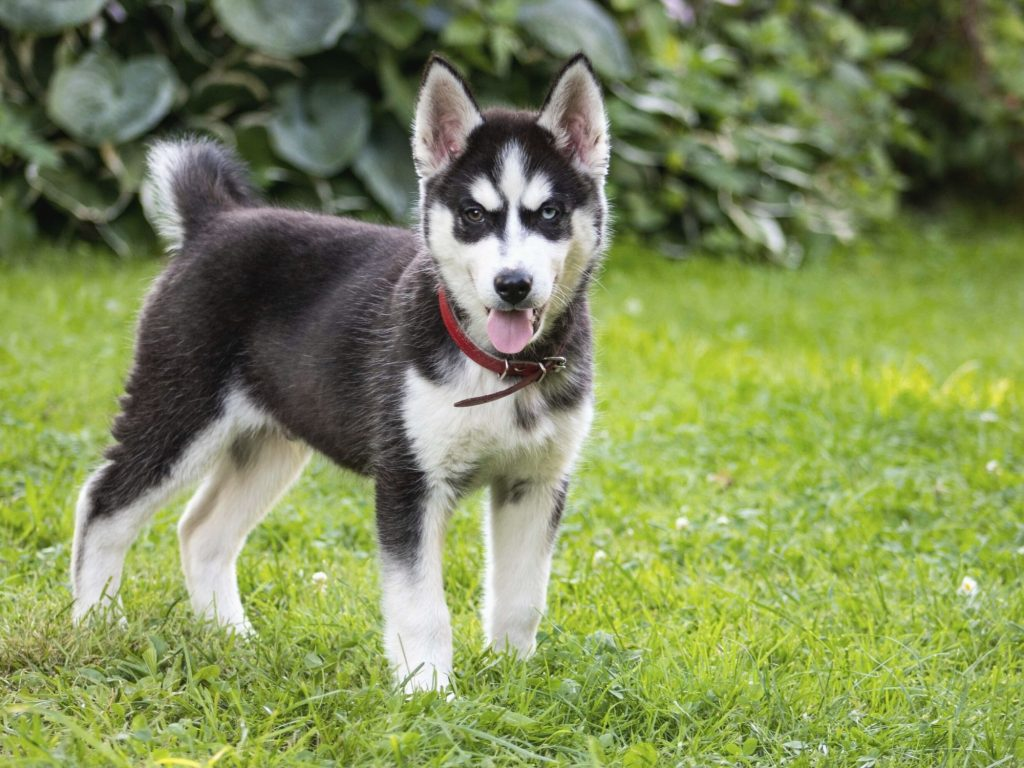 Husky Chihuahua Mix: Everything You Need To Know