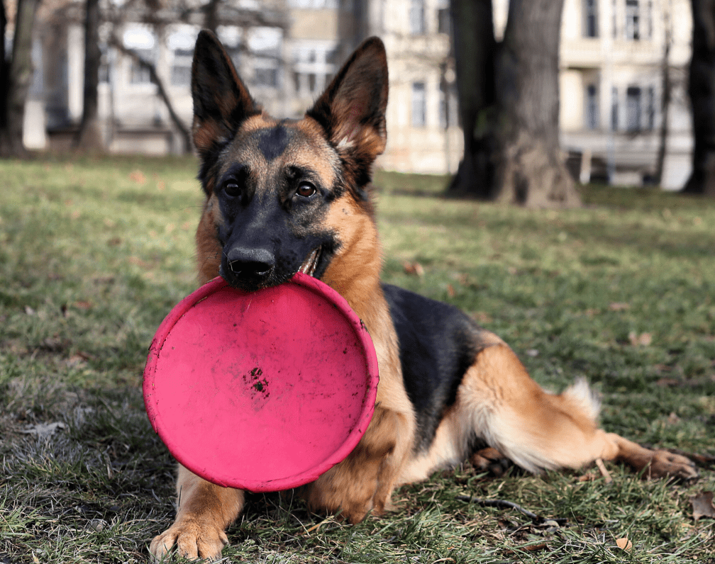 Best Toys For German Shepherds And Fun Games [Complete 2021 Guide]