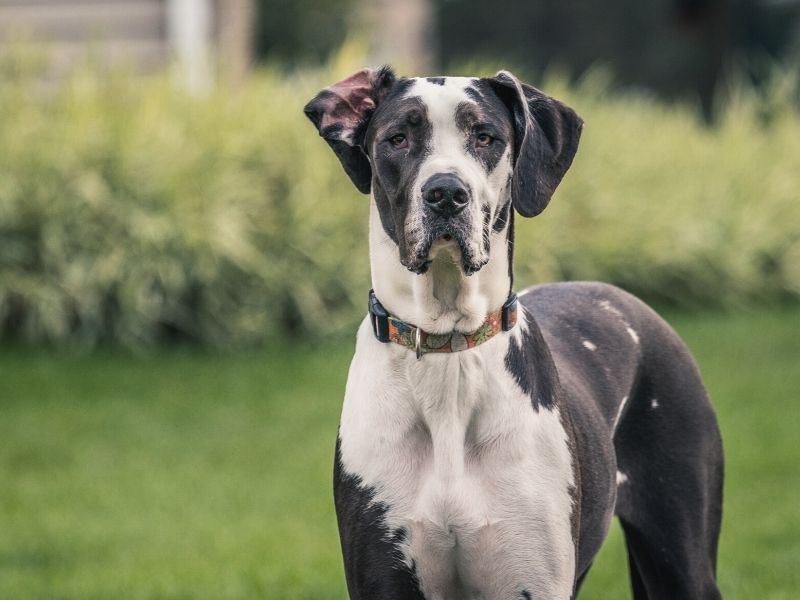 What Kind Of Dog Is Scooby-Doo: A Great Dane?