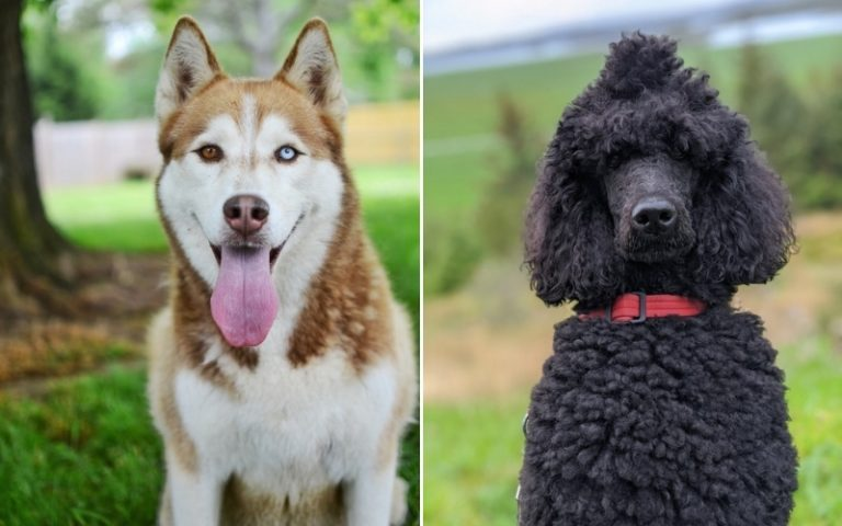 Husky Poodle Mix: Everything You Need To Know