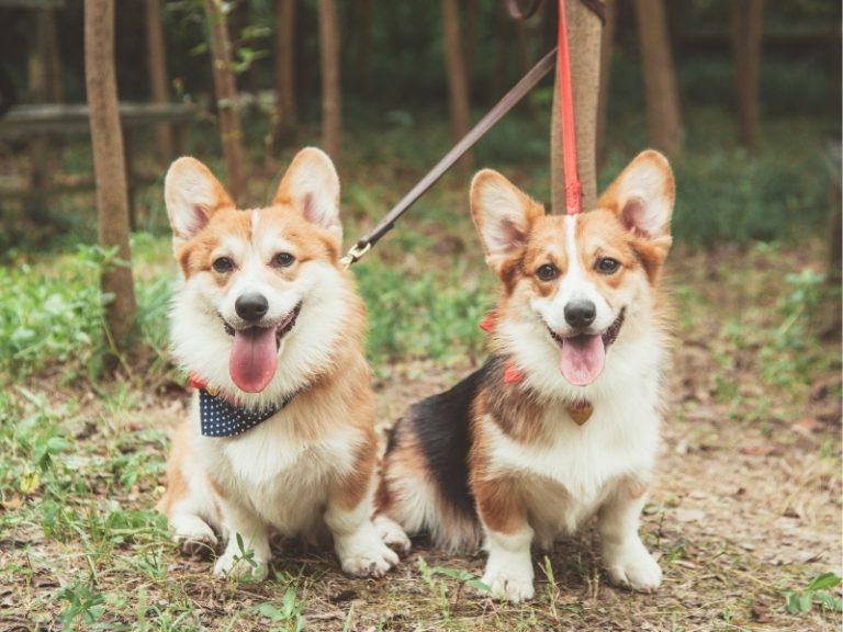 Corgi Mixed With Husky: Everything You Need To Know