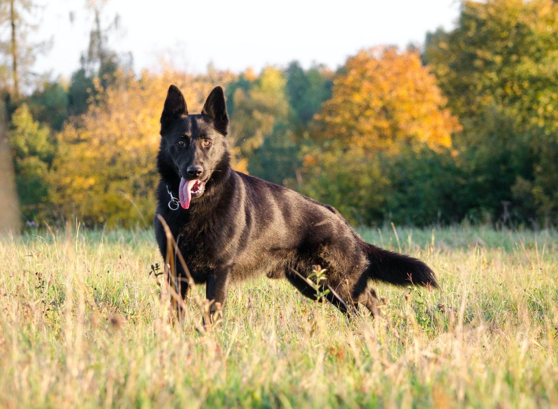 Get To Know The Black German Shepherd!