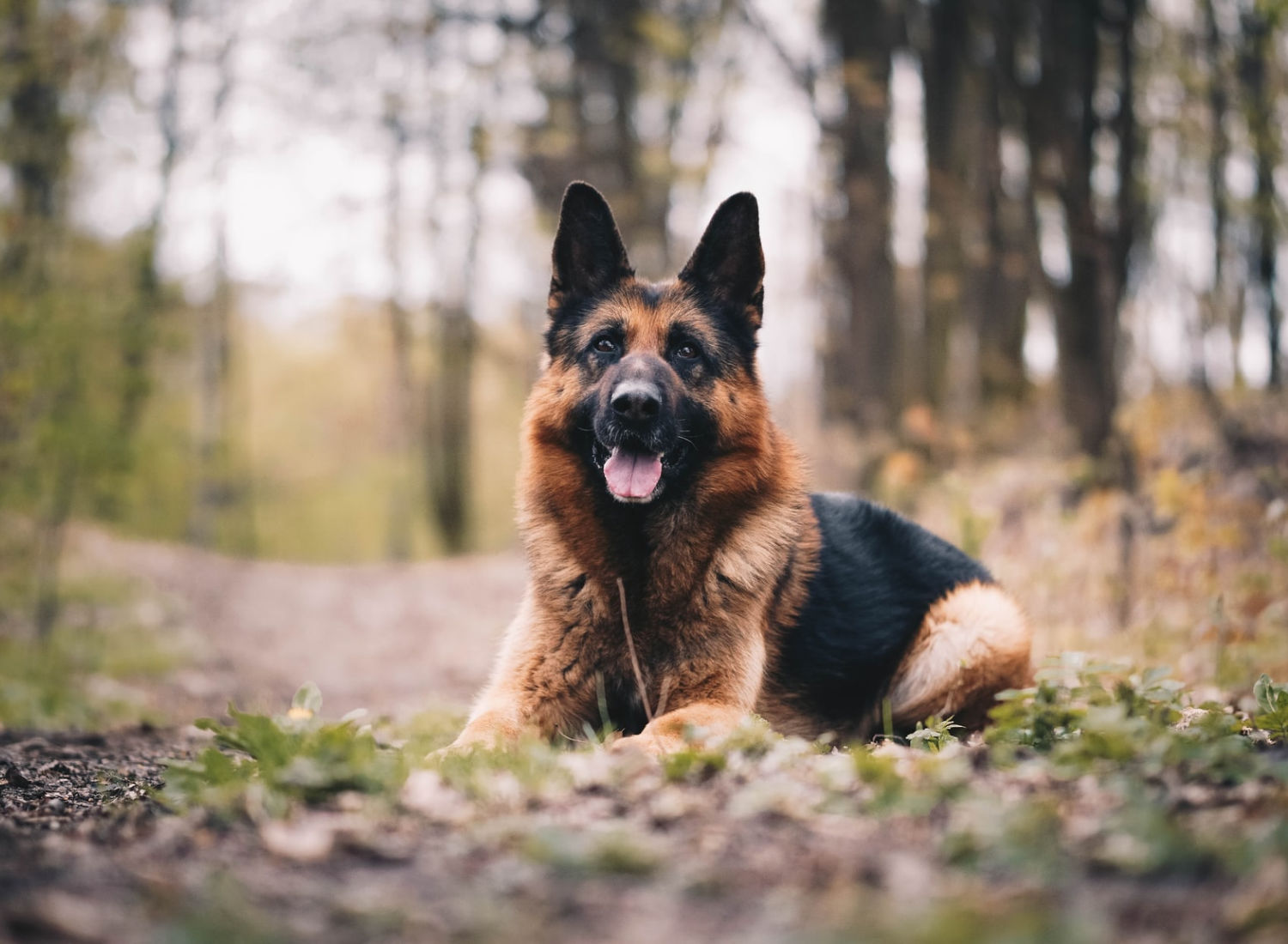 Long-Haired German Shepherd: The Fluffy GSD Breed