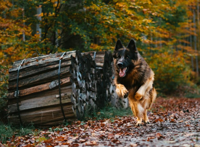 Long-Haired German Shepherds: The Fluffy GSD Breed
