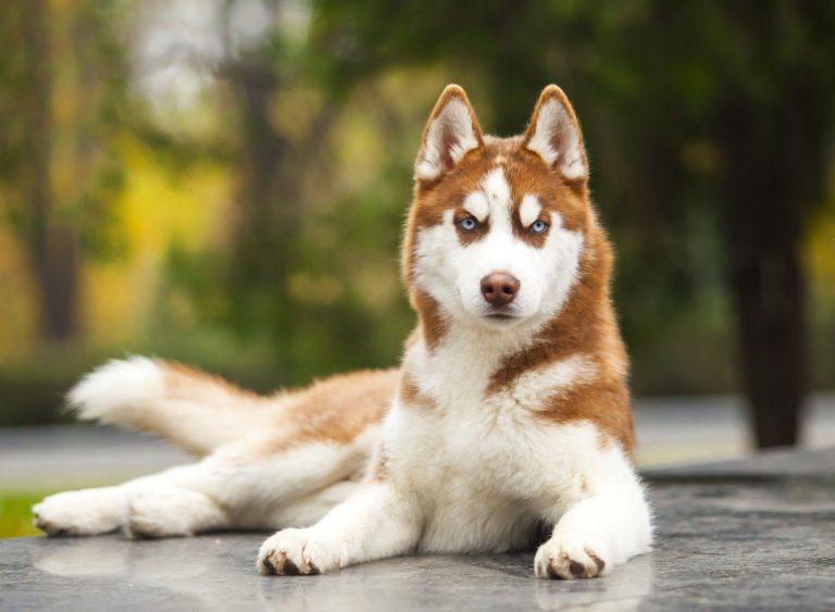Siberian Husky Mix Breeds