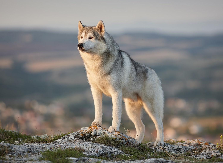 31 Siberian Husky Mix Breeds
