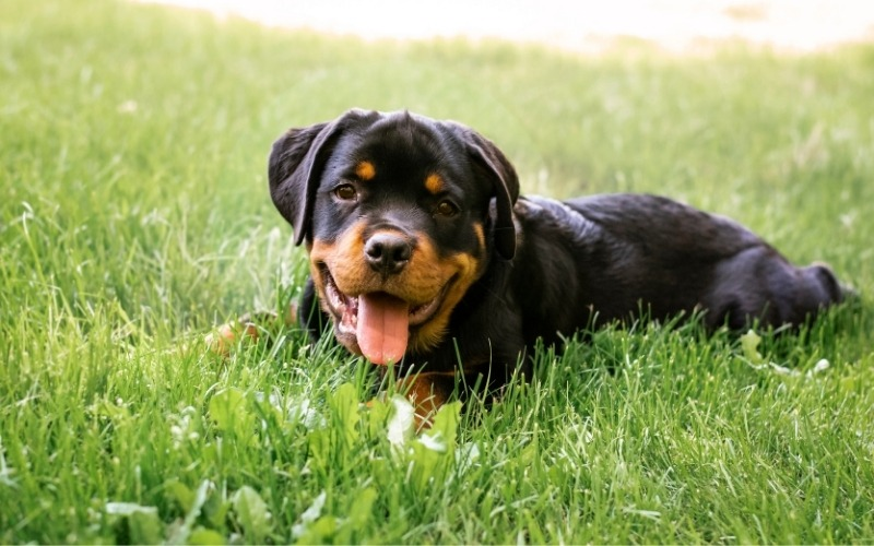 Pitbull Rottweiler Mix: Everything You Need To Know