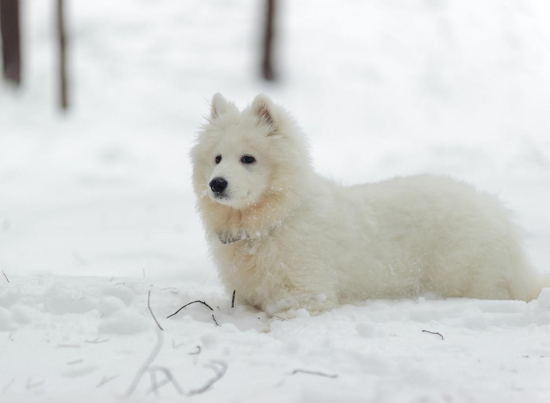 33 White Dog Breeds: Small, Medium, & Big With Fluffy & Short Fur