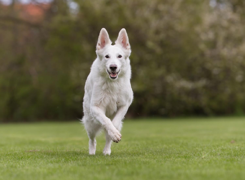 Get To Know The White German Shepherd!